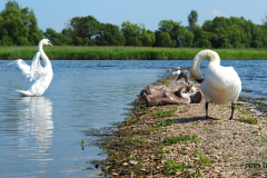 Лебедь с семьёй